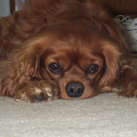 A picture of my ruby King Charles Cavalier Spaniel
